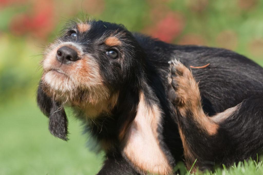 hund med flåt