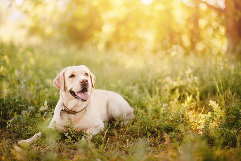 Glad labrador i græs