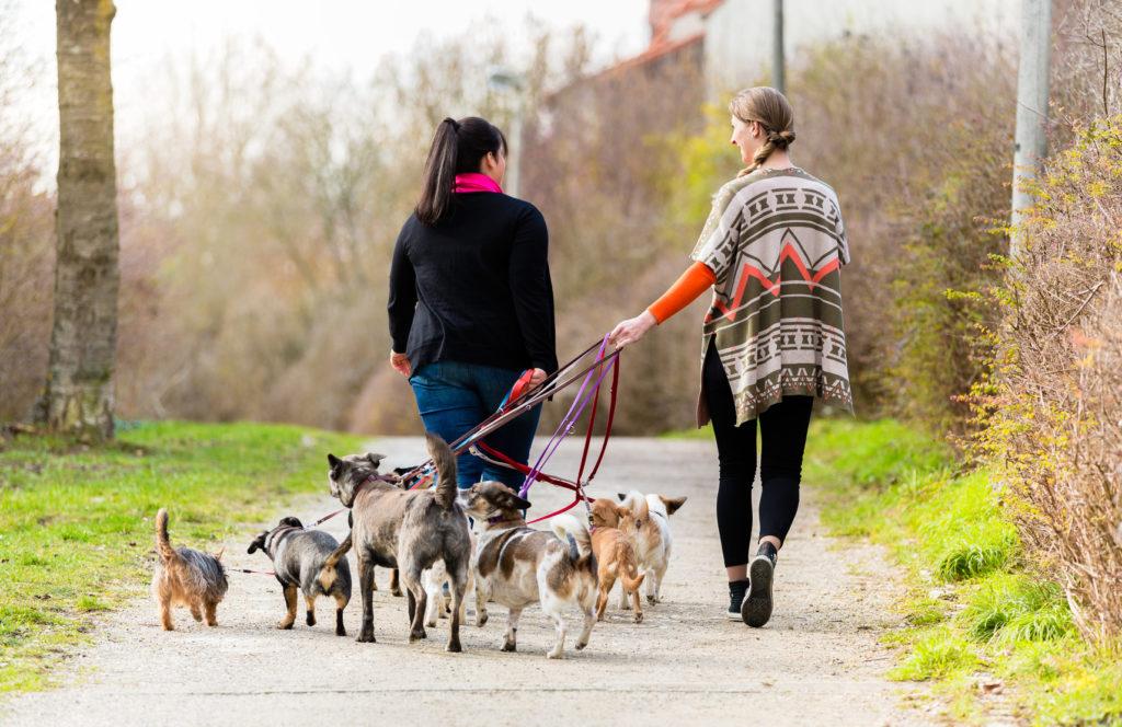 hundesitter med mange hunde