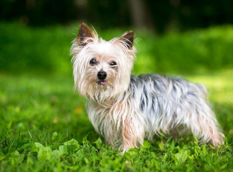 Yorkshire Terrier på græs