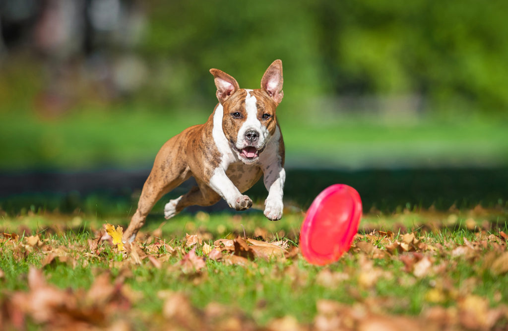 American staffordshire terrier leger med frisbee