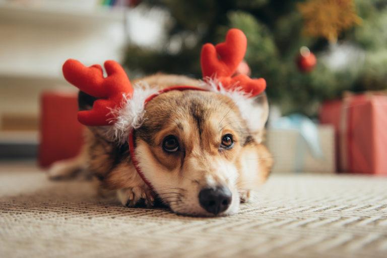 En hund med gevir