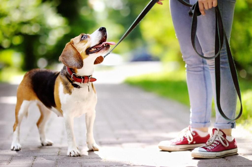 Træning af voksne hunde