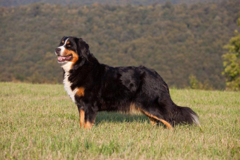 portrait af en berner sennenhund