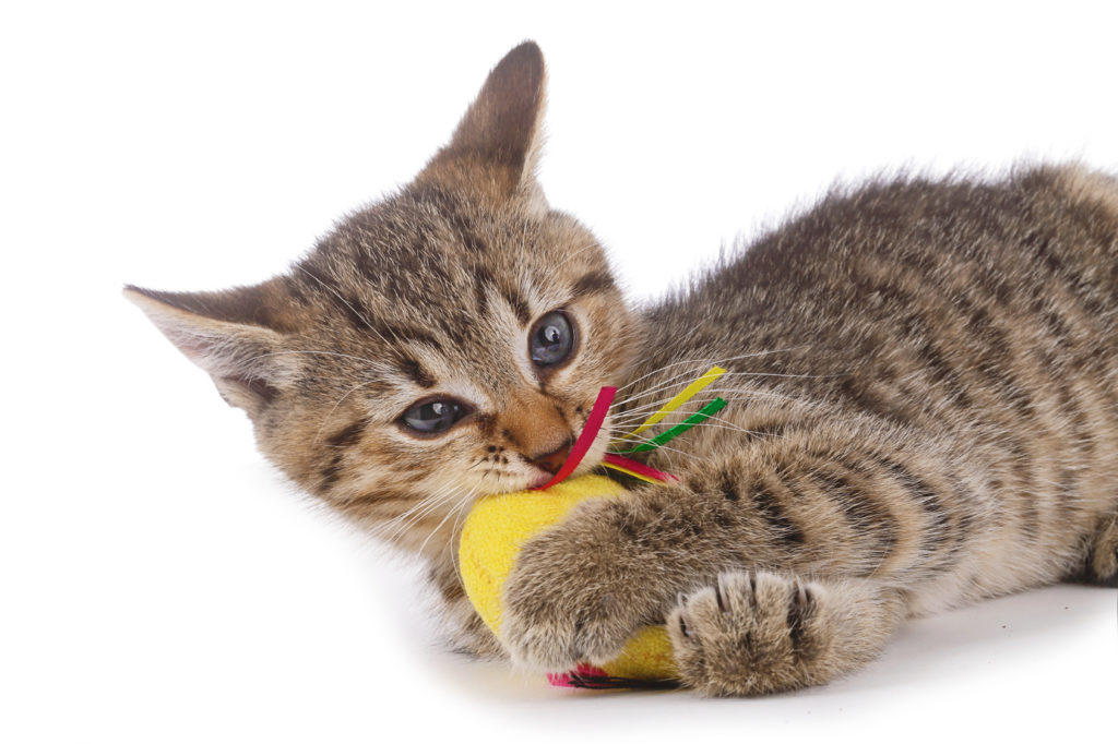 Kat som leger med legetøj