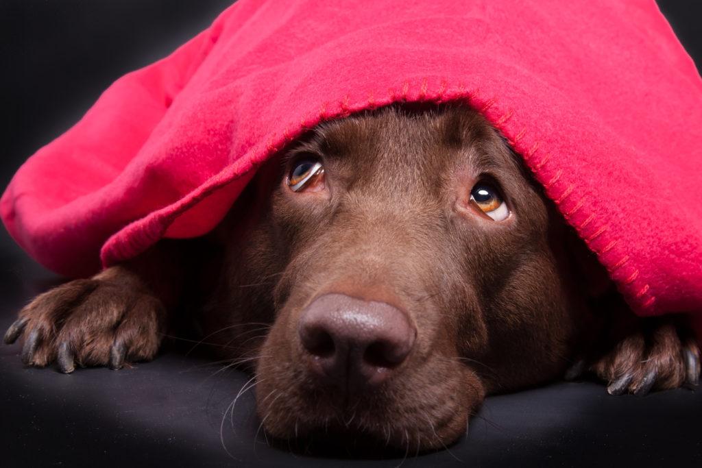 Labrador under et tæppe