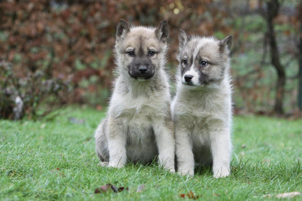 to grøndlands hunde