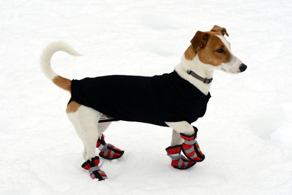 Hund med jakke og sko i sne
