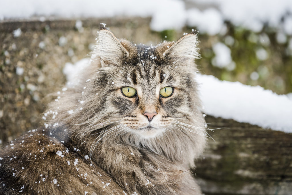 Norsk skovkat i sne