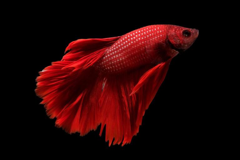 rød kampfisk