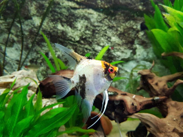 Scalar fisk