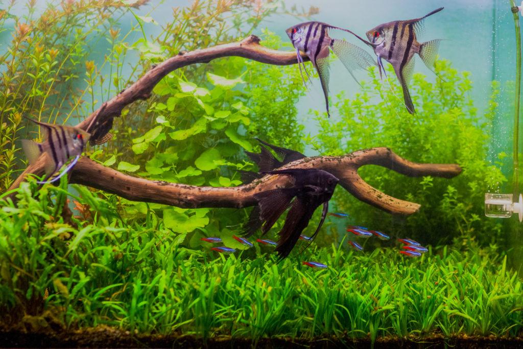Scalar fisk i akvarium