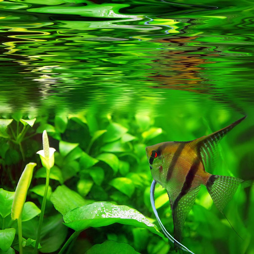 Scalar fisk i et akvarie