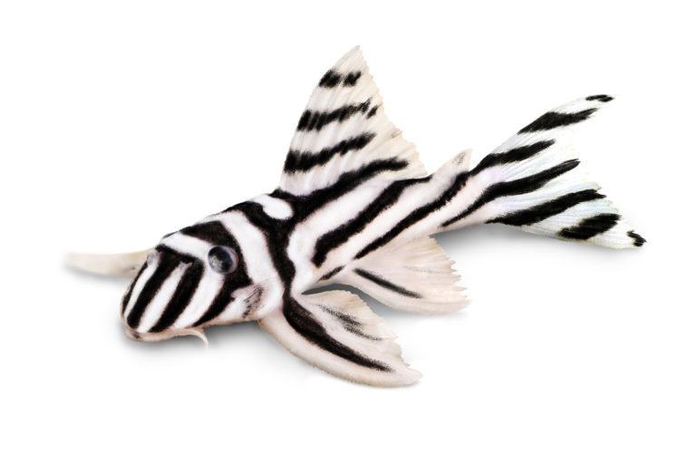 zebrawels weiss