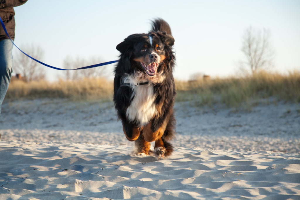 Berner Sennenhund på stranden