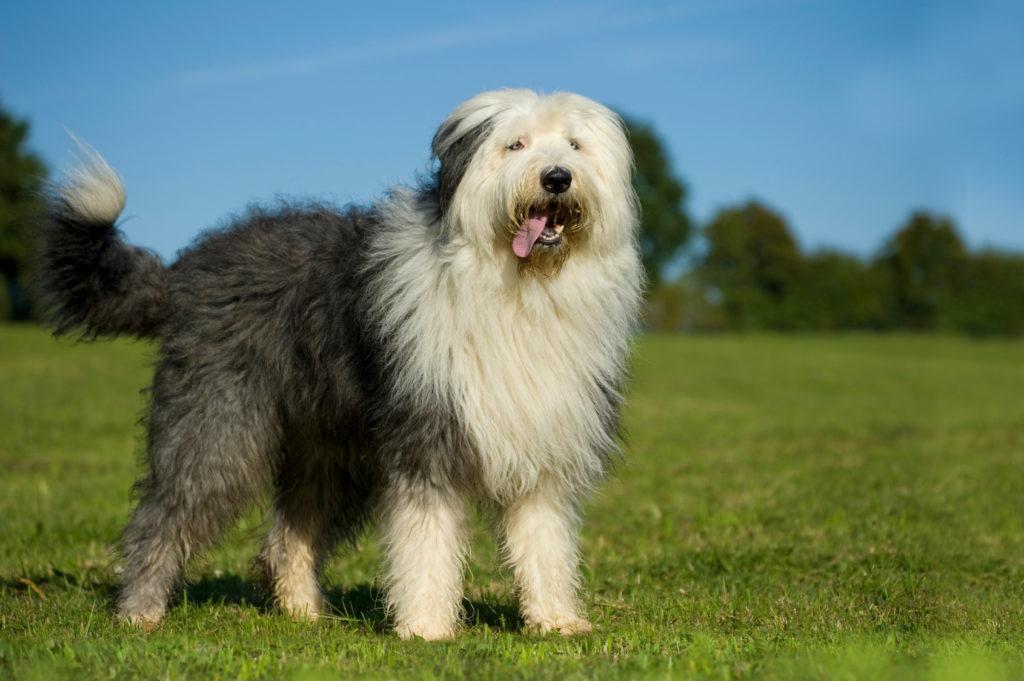 Old English Sheepdog på gras