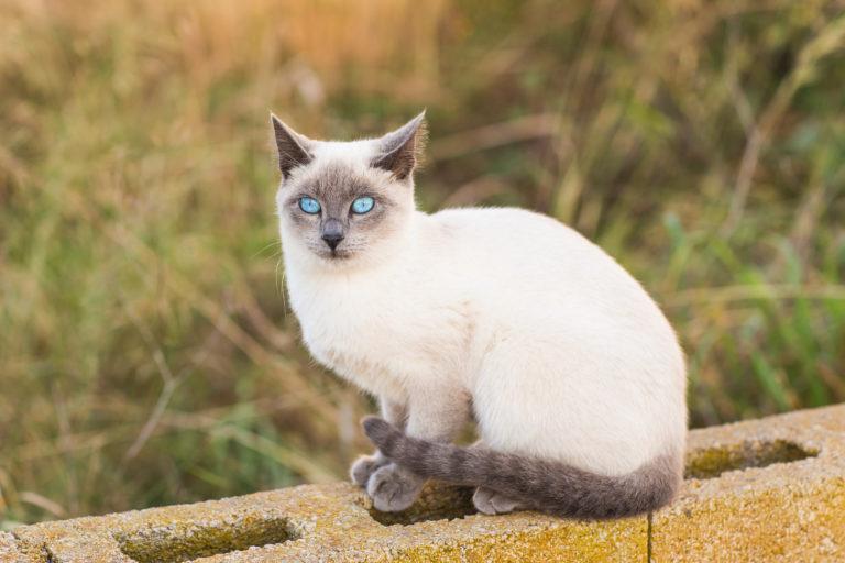 Siameser Kat
