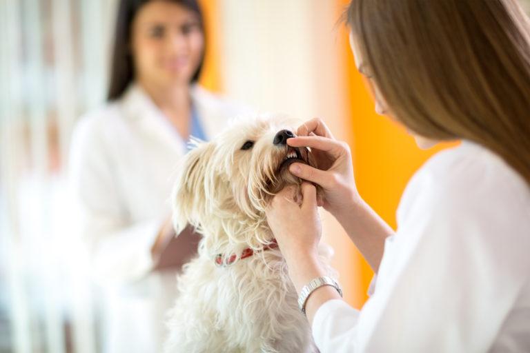 Hund får tjekket efter tandsten ved lægen