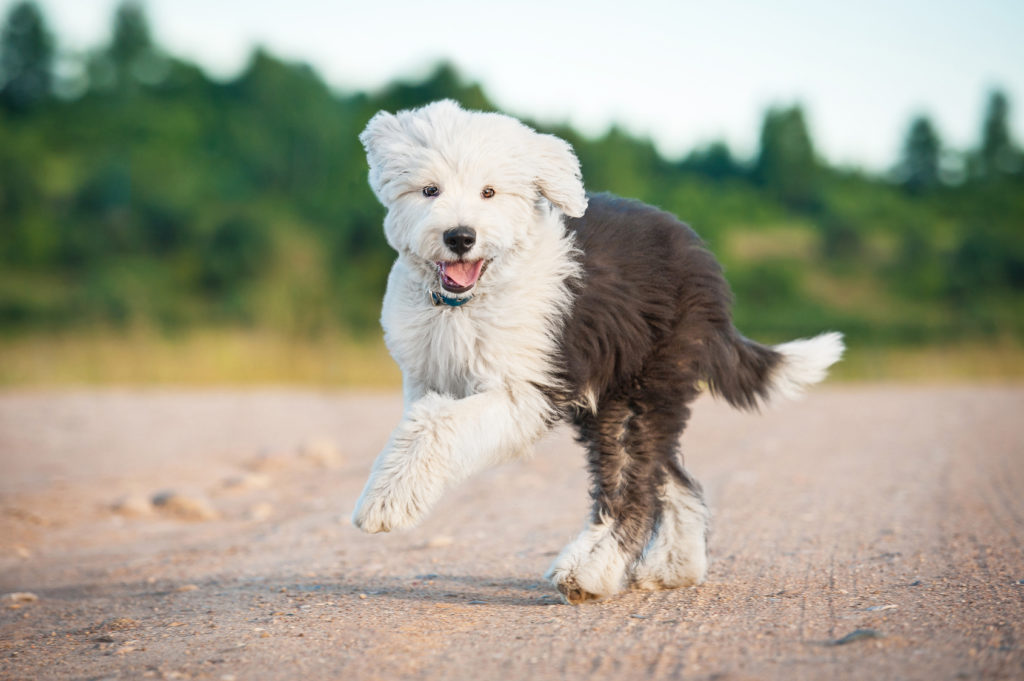 old english sheepdog hvalp