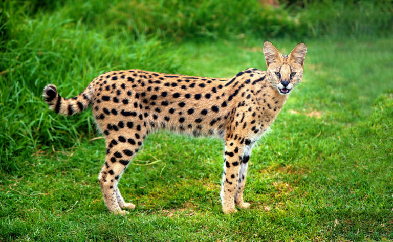 Serval på græs