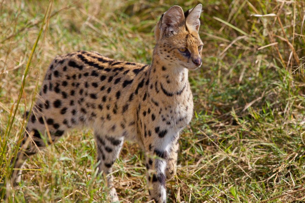 Serval jæger i højt græs