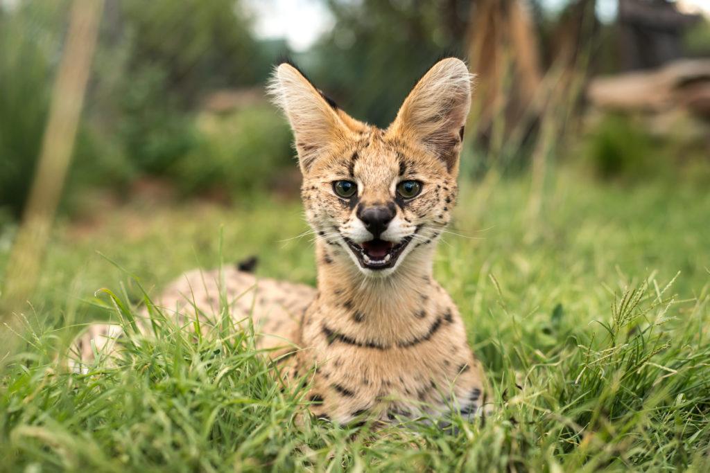 Serval unge