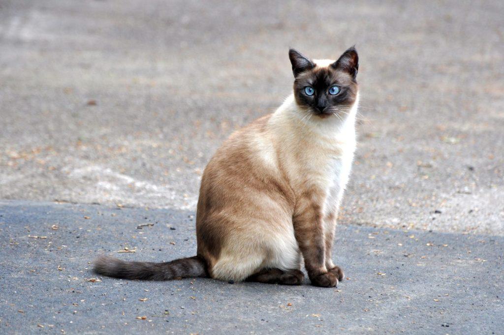 Siameser Kat sidder på gaden
