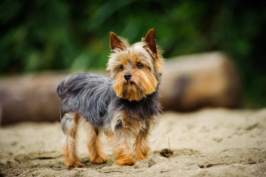 yorkshire terrier på en strand
