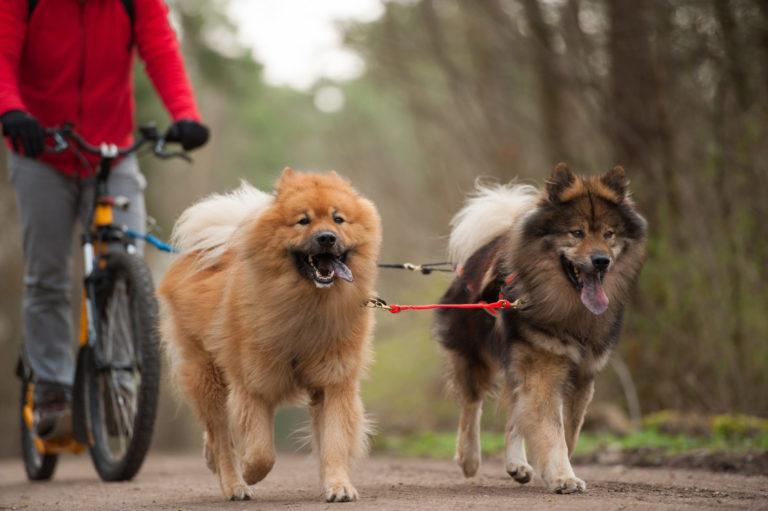 To hunde er med ude at cykle
