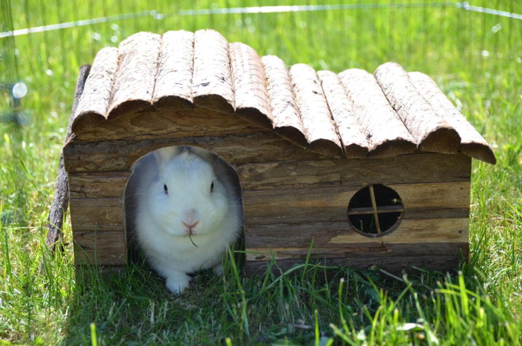 Kanin i hus