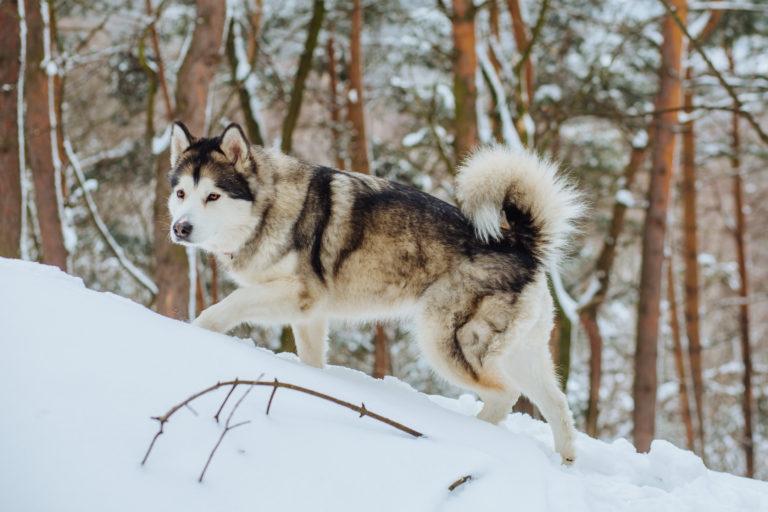 Alaskan malamute husky ulvehund som går på sne