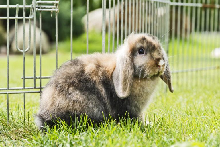 kanin i bur