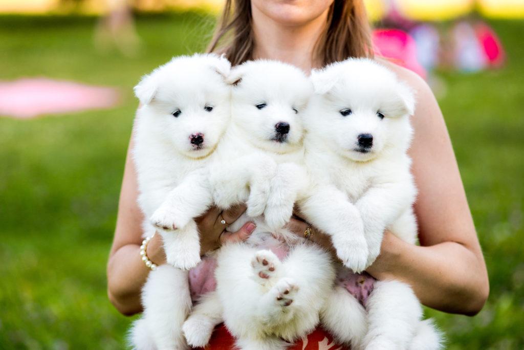 3 hvide hvalpe