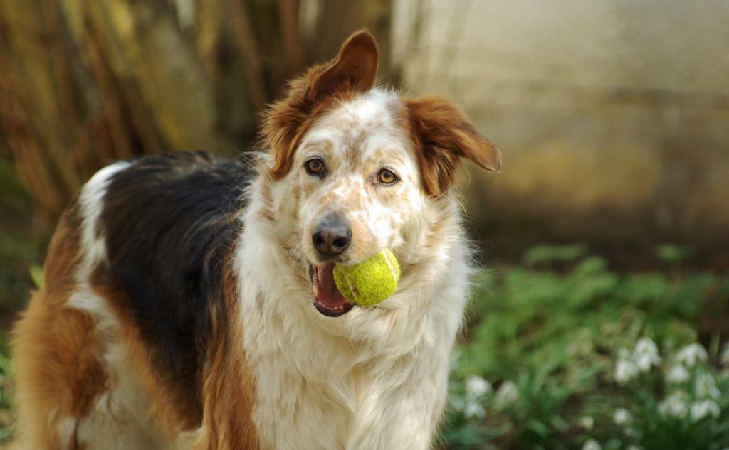 Gammel hund med bold