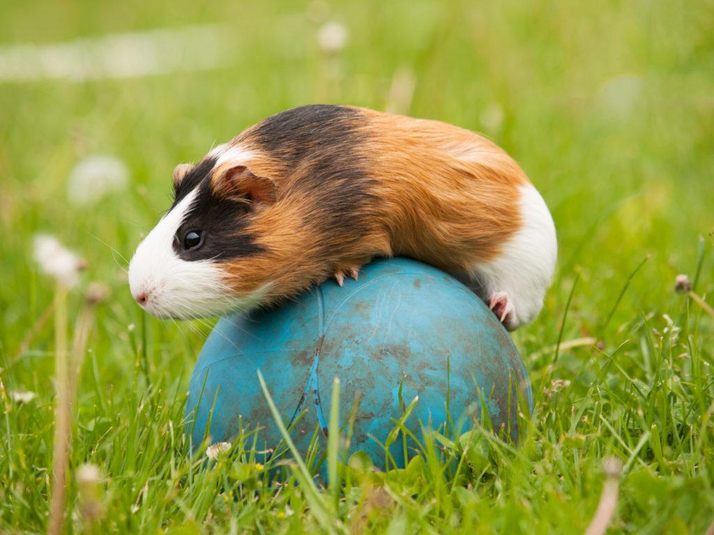 Gnaver på en bold