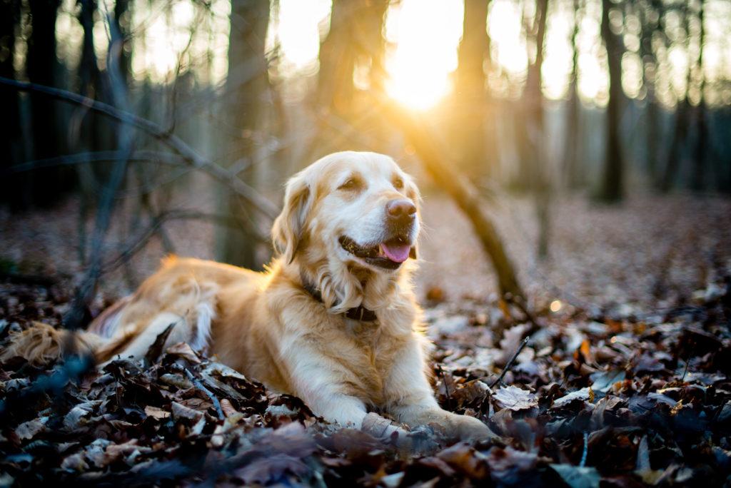 Golden retriever i skoven