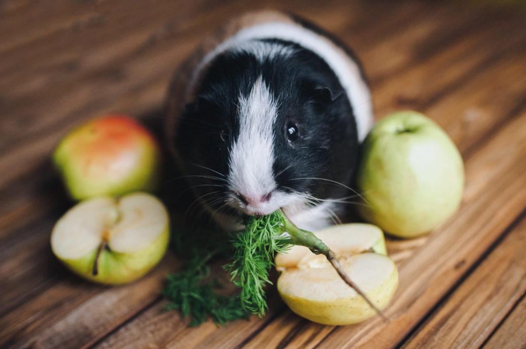 Grøntfoder til gnavere