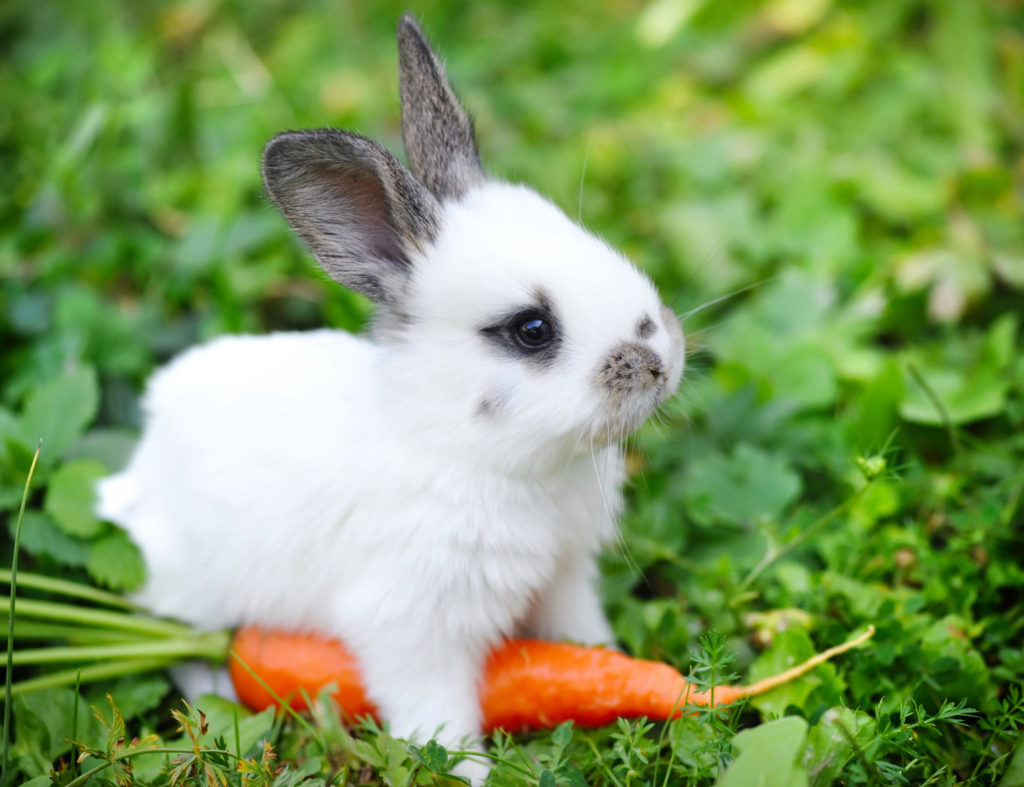 kanin med gulerod