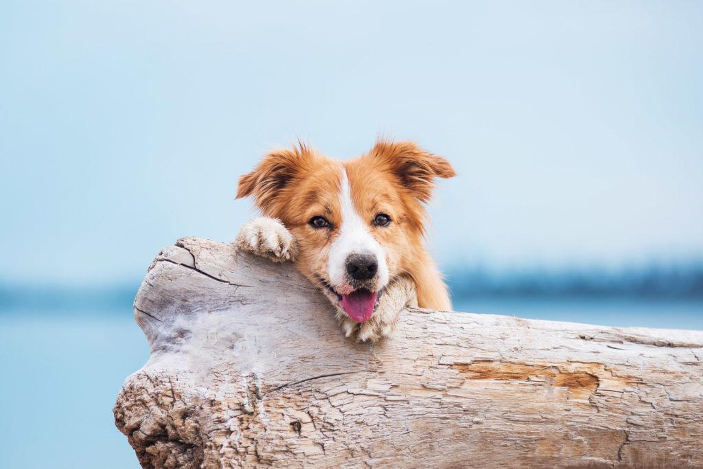 Glad hund ligger på drivtømmer