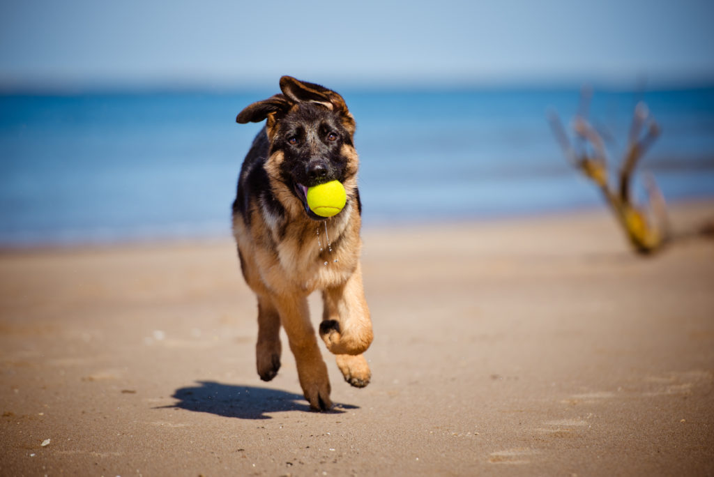 Tysk Schæferhund på sand