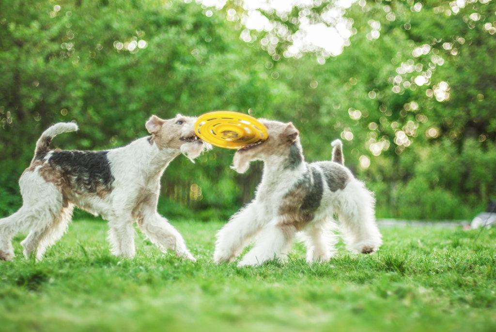Ruhåret foxterrier leger med frisbee