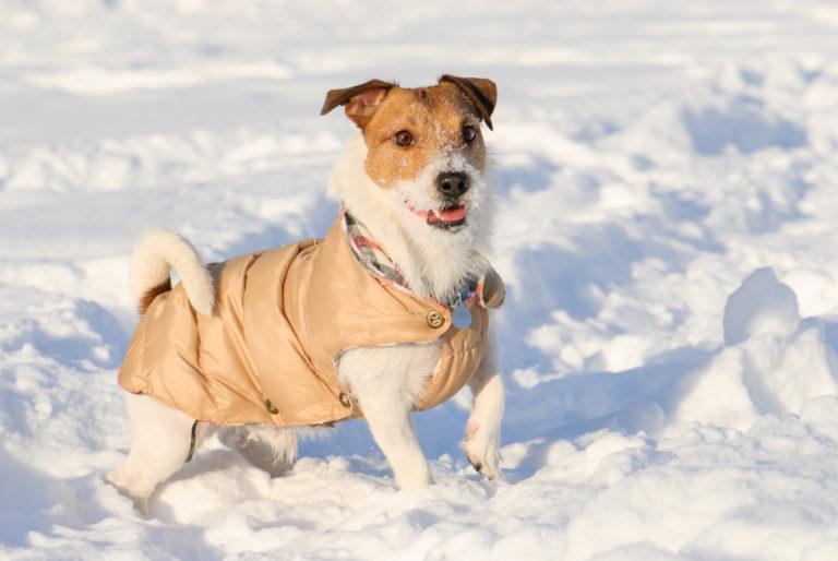 Hund i sne med hundejakke