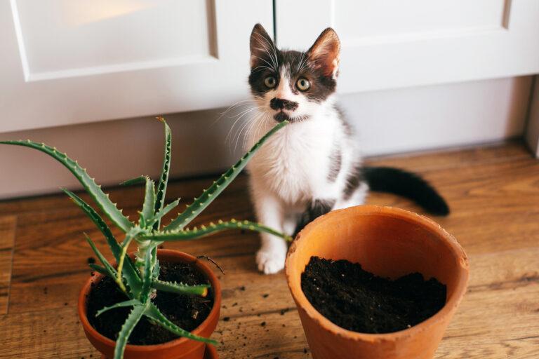 Kat tisser i potteplante