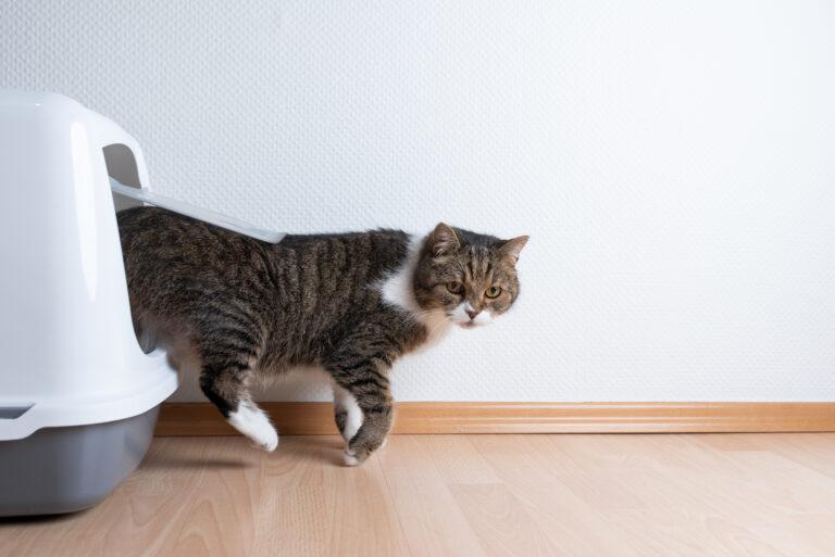 cystitis hos katte
