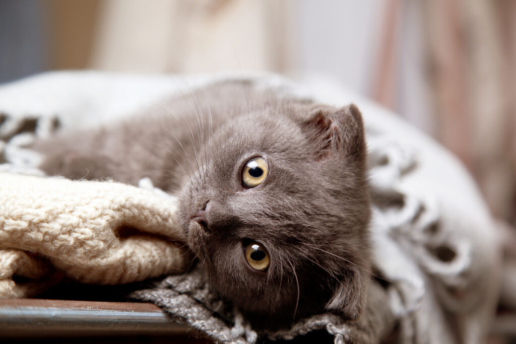 forkølet kat