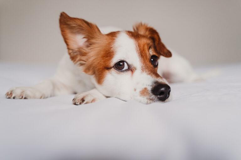 Coronavirus hos hunde