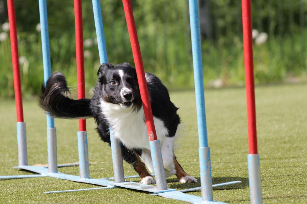 Border Collie hund løber parcour