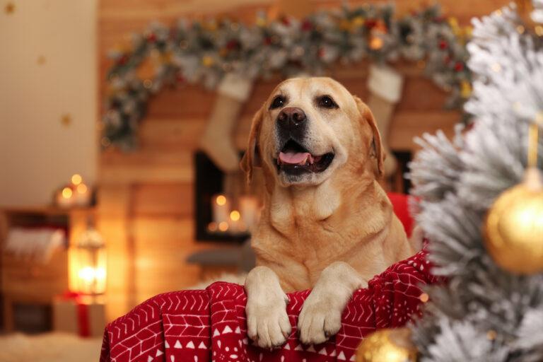 Sød hund på sofa i værelse dekoreret til jul. Yndig kæledyr