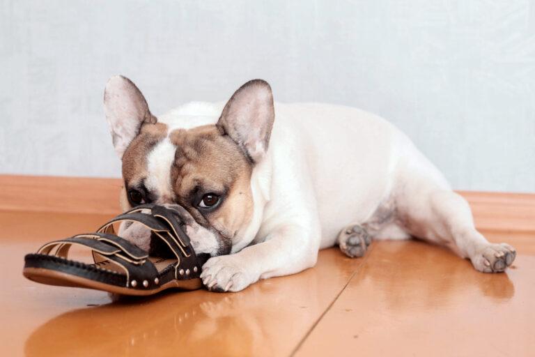 fransk bulldog gnaver i sko
