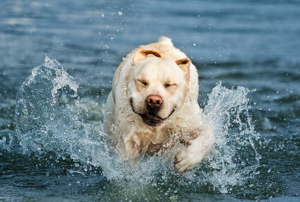Aktiv hund i vand